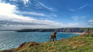 Lakeland Terrier Rio admiring the view of Lindsway Bay from the Pembrokeshire coast path.