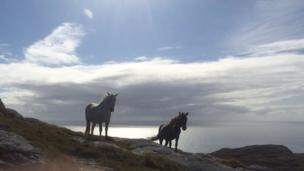 wild ponies on hill