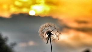 A dandelion in the sunshine near Watlington, by Hayley Butler, aged 12, with her new camera.