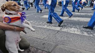 Dog wearing a hand knitted sash while watching the parade in Belfast, The Twelfth, 12 July 2017
