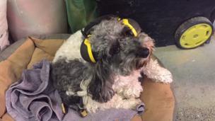 Ellie the dog wearing protective headphones