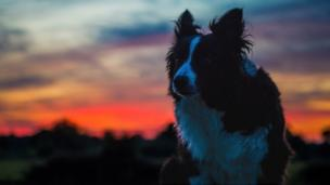 Seren the border collie at sunset