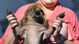 Himisaboo at the world's ugliest dog competition