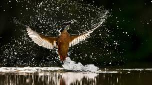 A kingfisher catching a fish