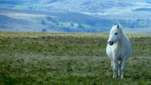 A mountain pony on the Brecon Beacons, near Pen y Fan, taken by Tracy Rees.