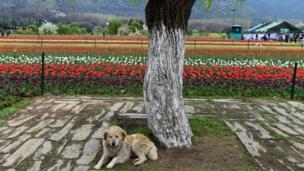 नरगिस के फूल