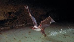 The Greater Bulldog Bat