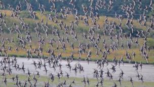 Black-tailed godwits