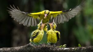 Two oriole chicks are fed by their mother