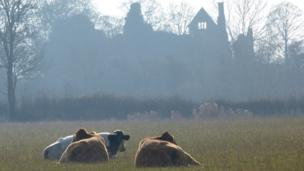 Contented cattle enjoying the sunshine set against the backdrop of the ruined Elizabethan Manor House, Hampton Gay.