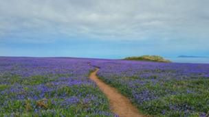 Bluebells on Skomer Island, in Pembrokeshire