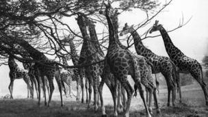 Giraffes at Longleat Safari Park. Wiltshire