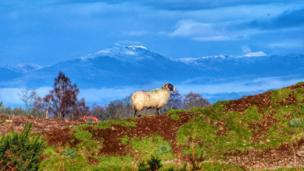 Sheep with Ben Ledi in the background