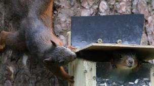 Red squirrels at Llyn Parc Mawr, Anglesey