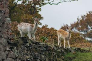 Two deer in a park in Leicestershire
