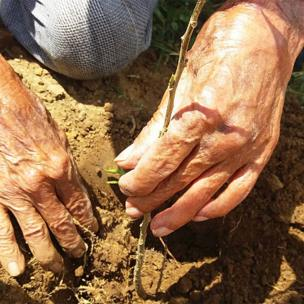 Manos plantando una planta tipo arbusto llamada francesino