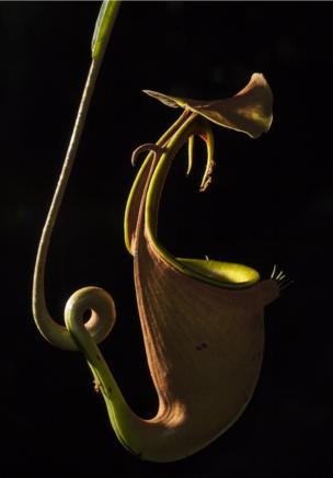 نبات الجرة