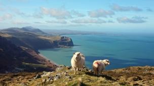 Sheep on Yr Eifl overlooking the Llyn Peninsula by Anna Hamblett
