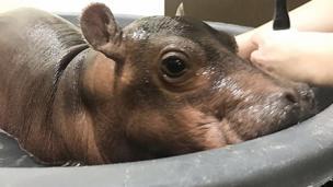 Fiona the baby hippo