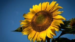 A sunflower enjoying the good weather