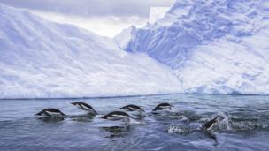 Gentoo penguins swimming