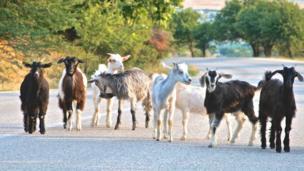 Goats in Greece