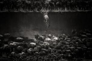 ২০১৪, মারা নদী, নর্থ সেরেংগেটি। বেলজিয়ামের ফটোগ্রাফার নিকোল ক্যামব্রে ছবিটি তুলেছেন।