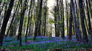 Bluebells at Forest Fawr near Tongwynlais
