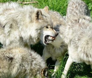झगड़ा करते भेड़िए