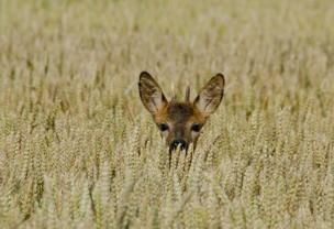 A deer looks out from a field