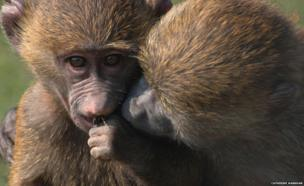 a baboon eating while another peers at its food