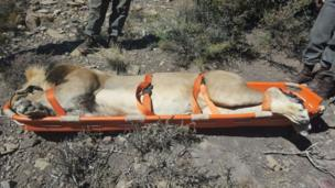 Sylvester the lion in a stretcher on 31 March 2016