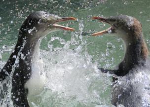 Penguins fighting in water