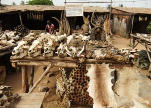 Animal skins and skulls on display