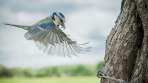 Blue tit in flight feeding its young in Bangor-on-Dee, near Wrexham