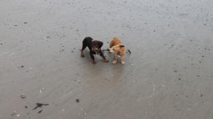 Dogs biting seaweed