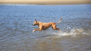 Lurcher in the sea