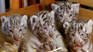 4胞胎白虎