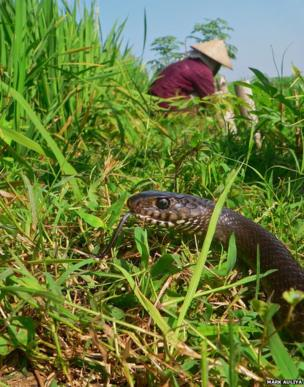 rat snake in a paddy field