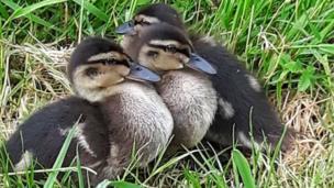 Ducklings by Marie Galeozzi