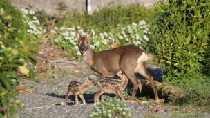 A doe and her fawns
