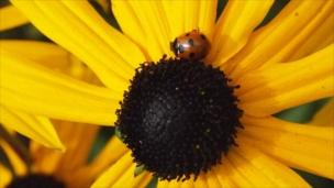 Ladybird on sunflower