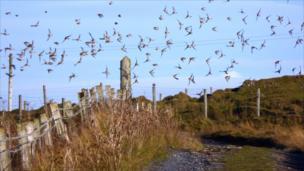 Linnets in flight