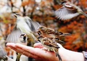 A person feeding sparrows