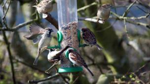 Sparrows feeding from a birdfeeder