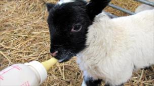 Lamb being bottle fed