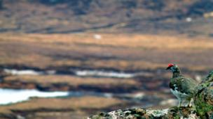 Ptarmigan on Bynack More