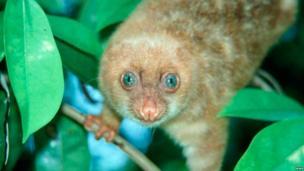 WWF: The blue-eyed spotted cuscus (Spilocuscus wilsoni)