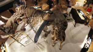 Model of a giraffe sticking its tongue out at the National Museum of Scotland