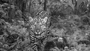 Jaguar, Costa Rica (c) TEAM Network